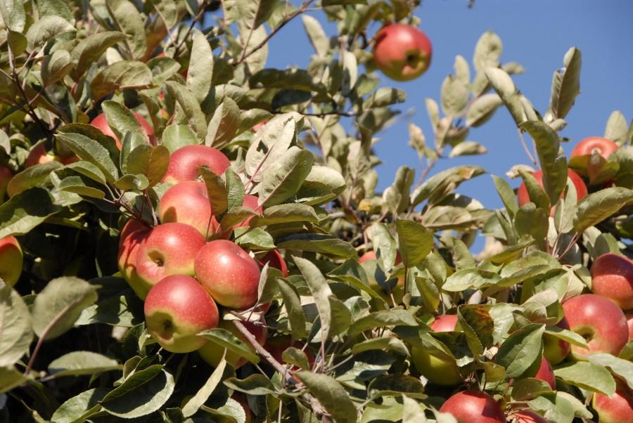 Apfelernte Südtirol Urlaub