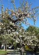 Aufnahme von heute Morgen: Apfelbaum direkt vor dem Hotel