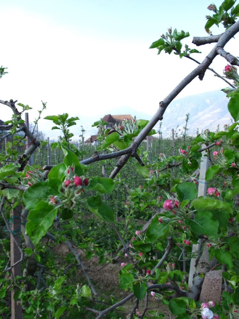 Apfelbaumblüte steht in Schenna kurz bevor