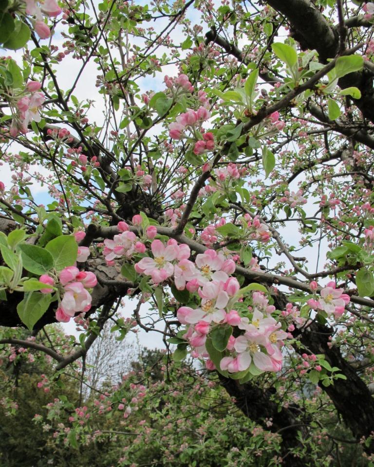Die Apfelbaumblüte hat Schenna erreicht