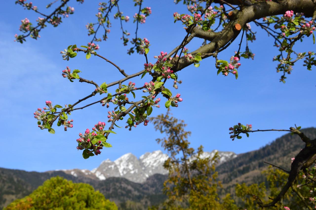 Die Blüte der Apfelbäume steht kurz bevor - Traumwetter in Schenna hält an